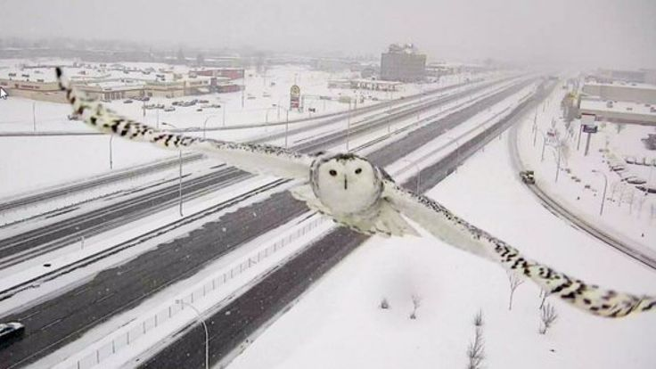 Spectacular images of a snowy owl in flight have been captured by Transport Quebec's traffic camera along Montreal's Highway 40.