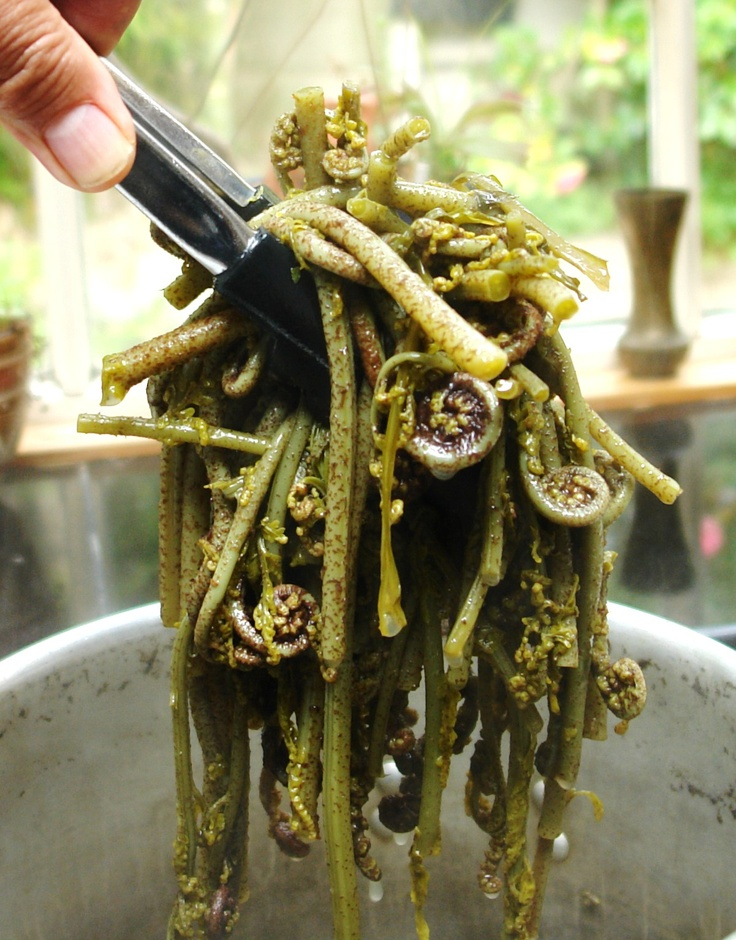 "Pikopiko cooked to perfection exactly how I like it, dripping with ""wai kutae"", mussel stock. With aroma's similar to asparagus scented with a strong New Zealand native forest flavour, this native vegetable is prized at a high level in the kitchens of the Marae and home. Now marketed as a fiddlehead vegetable in restaurants across New Zealand, it has earnt its rightful place amongst our mainstream vegetables. ka pai tera."