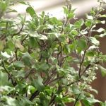 Tulsi perfume ingredient, Tulsi fragrance and essential oils Ocimum tenuiflorum
