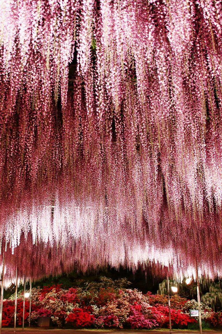 Wisteria flower shower at Ashikaga Flower Park, Tochigi, Japan