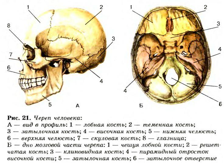 череп в картинках на латыни искусственные