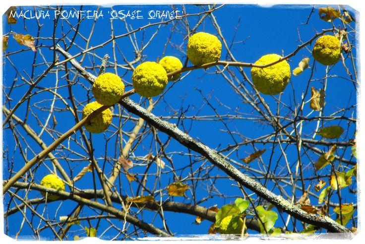 Maclura pomifera 'Osage Orange' 20+ SEEDS