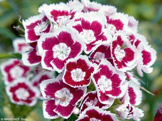 L'oeillet des poètes - bisannuel - Découvrez 14 fleurs qui ne craignent pas l'hiver! - Mon Jardin & ma maison
