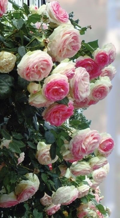 I love pink climbing roses and these beautiful old fashioned cabbage roses.