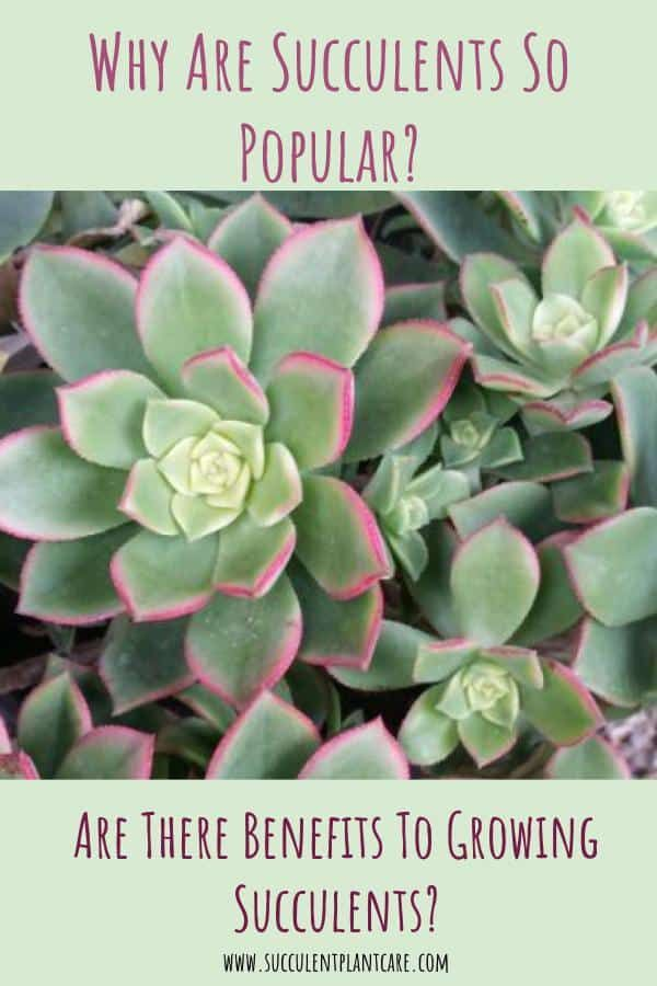 Benefits Of Growing Succulents Why Are They So Popular Succulent Plant Care Succulents Planting Succulents Growing Succulents