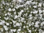 Gypsophila paniculata  'Bristol Fairy'  babysbreath gypsophila flowers