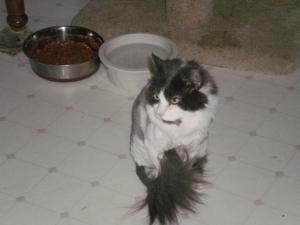 Cloudy is an adoptable Domestic Long Hair - Gray And White Cat in Wells, ME. Cloudy is 5 years old and just came back from a day of beauty sporting a new hairdo! He came to us very matted. He has beau...