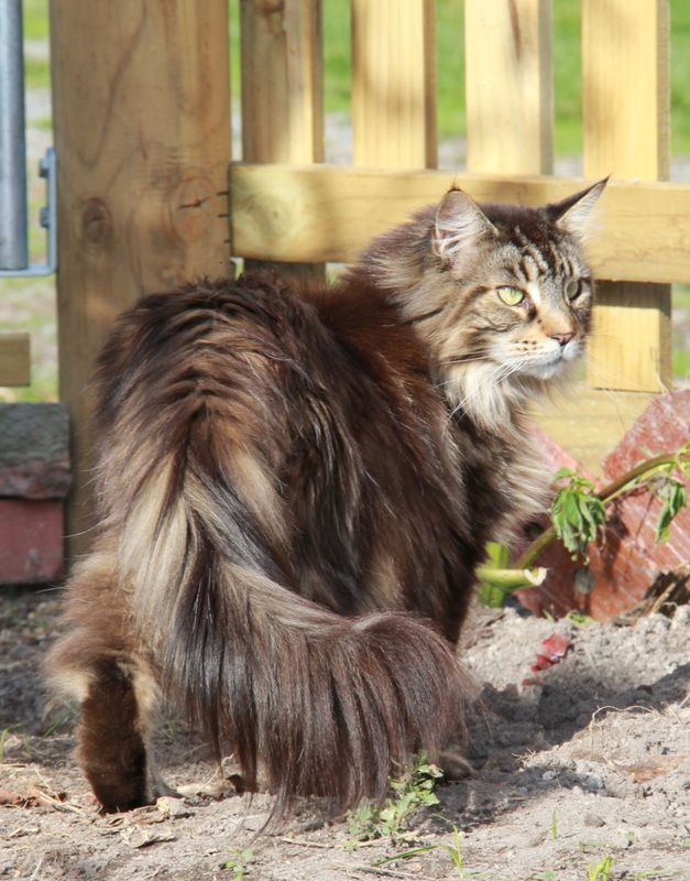 Maine Coon Cats, black smoke maine coon, blue tabby maine coon, black & white maine coon, torbie maine coon