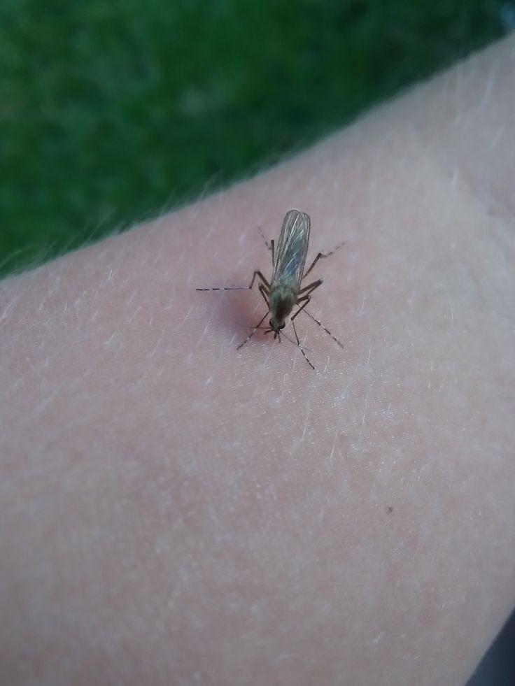komár pisklavý/culex (na brachově ruce)