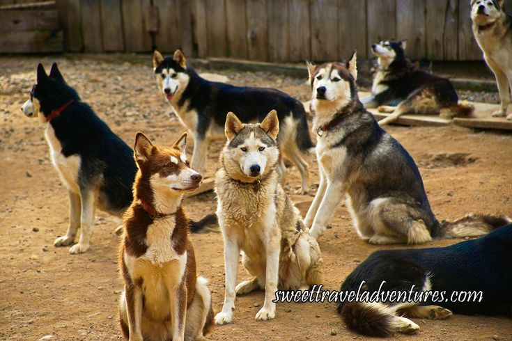 Huskies in Kennel in Haliburton Forest in Haliburton Highlands, Ontario