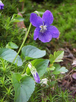 """""""Die #Veilchengewächse ( #Violaceae ) sind eine Pflanzenfamilie innerhalb der Ordnung der Malpighienartigen (Malpighiales). Die in Mitteleuropa bekannteste Gattung sind die Veilchen (Viola)."""" Hain-Veilchen (Viola riviniana)"""