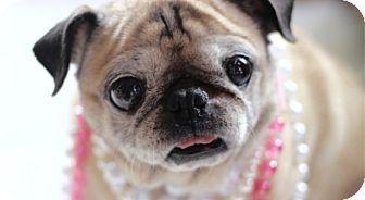 Pismo Beach, CA - Pug. Meet Lizzy, a dog for adoption. http://www.adoptapet.com/pet/14773147-pismo-beach-california-pug