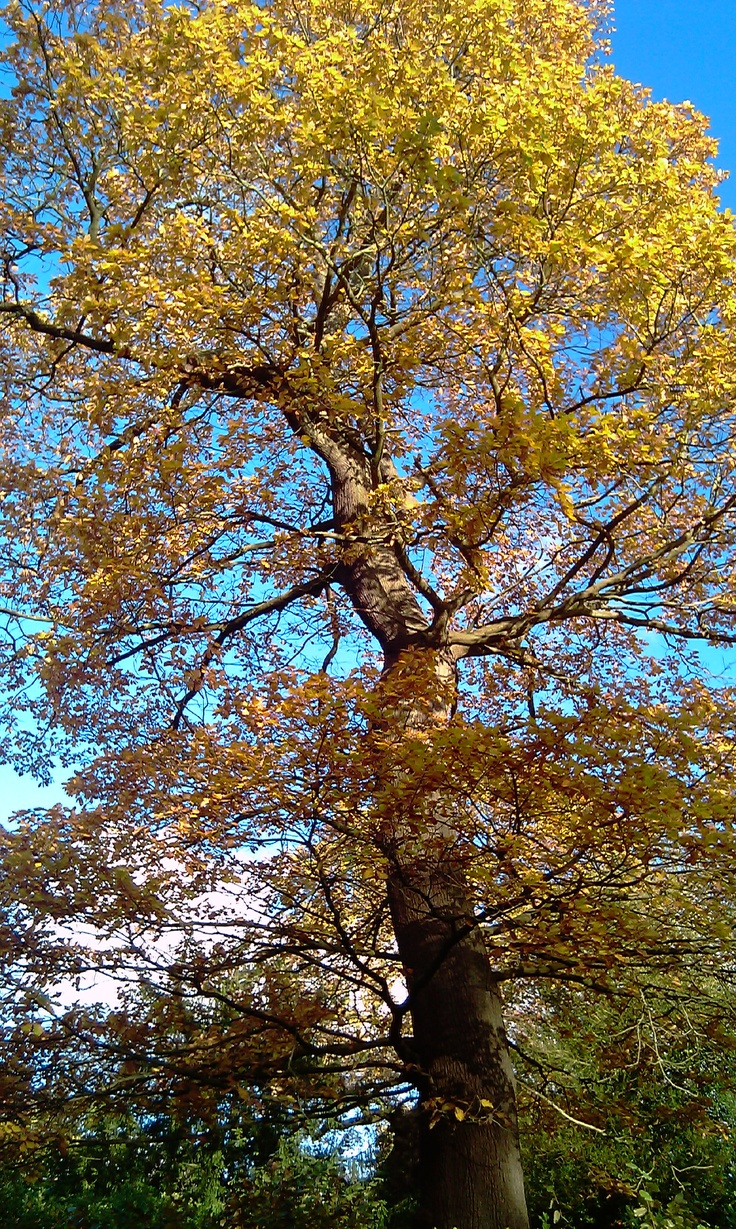 Yellow leaves of a massive tree