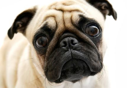 Mini Pug Breeders | Pug Dog Breeds Picture