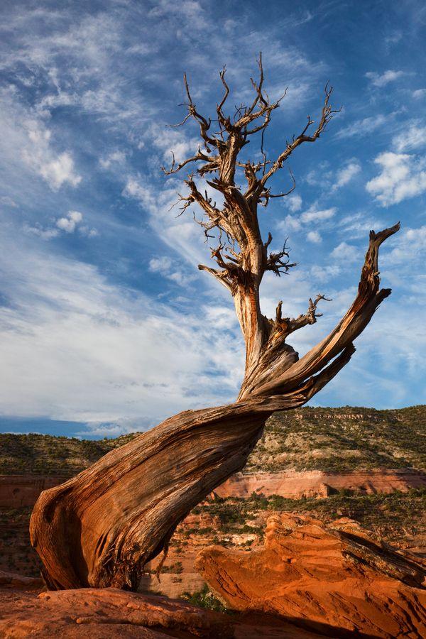 Juniper Tree By Igor Kovalenko On 500px
