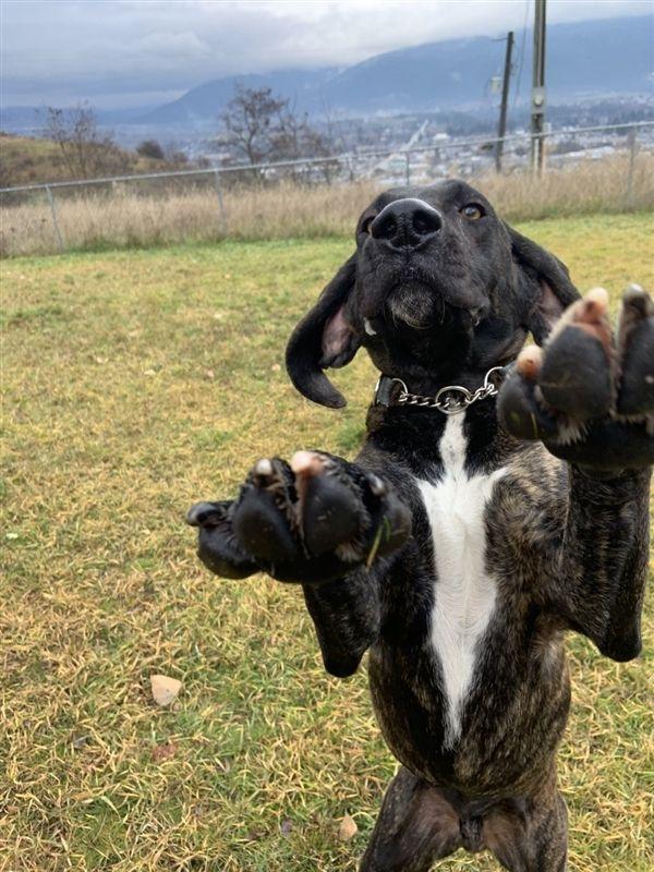 Adopt Bonduke On Petfinder Dog Adoption Plott Hound Plott Hound Mix