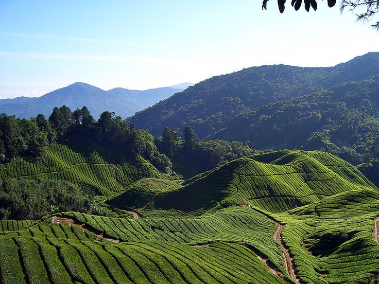 Tea Fields of Cameron Highlands, Malaysia Cameron