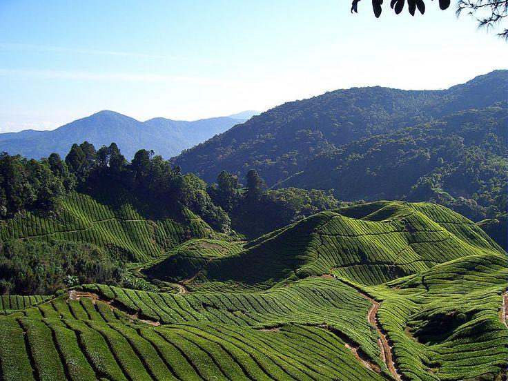Tea Fields of Cameron Highlands, Malaysia Cameron