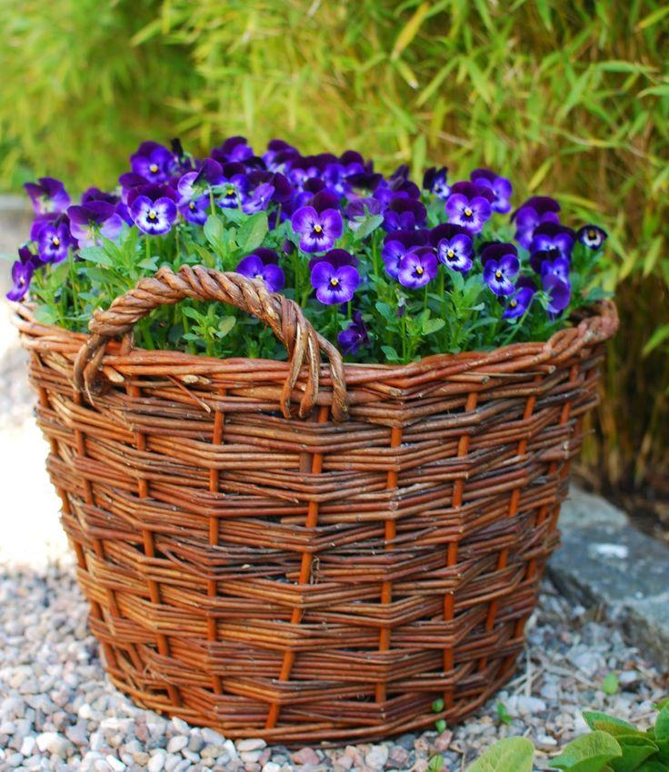 basket and pansies