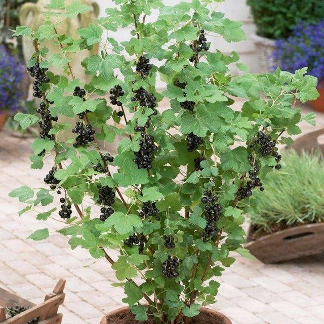 Одной из наиболее распространенных культур в большинстве частных садов является смородина. Она бывает красная, белая, желтая, розовая, черная, фиолетовая, и даже зеленая. Однако на самом деле по морф…