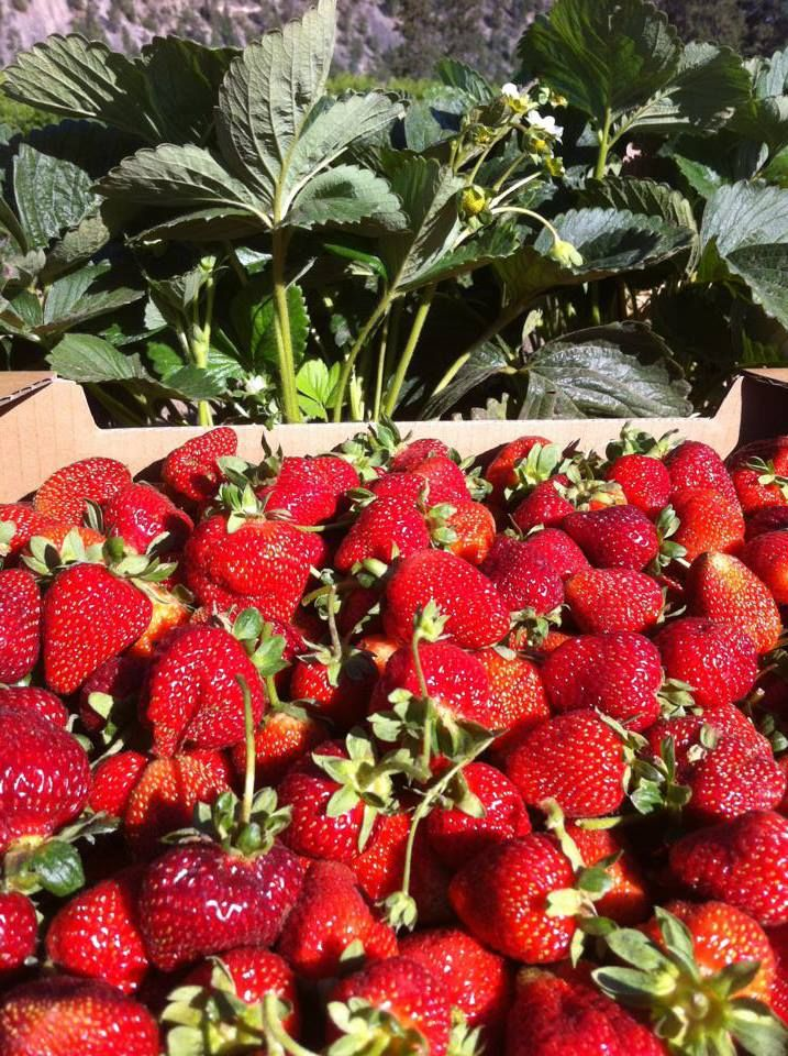 Organic Strawberries from Covert Farms. These are grown next to the Pinot Noir used in the Rose! Fabulous! #organic #farming #covertfarms