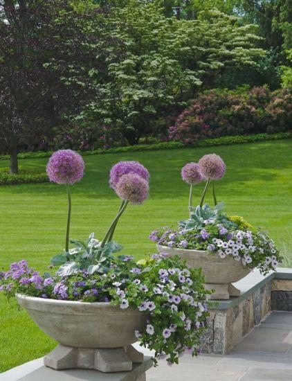 Zierlauch (Allium) in Steingefäßen, kombiniert mit anderen lila Blüten <3