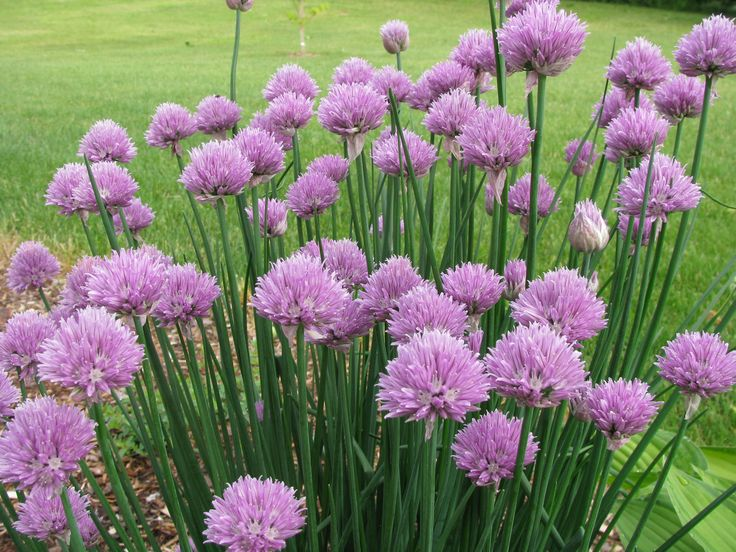 A clump of Allium schoenoprasum, commonly know as chives flowering. Description from thetimesherald.com. I searched for this on bing.com/images