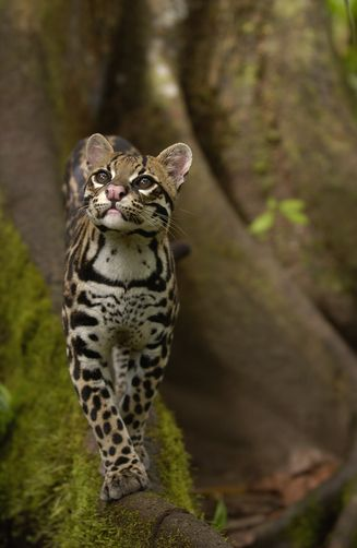 Ocelot walking on buttress root, Ecuador