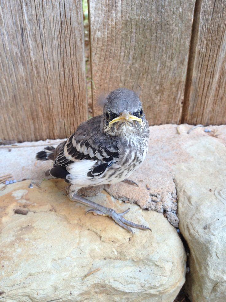 Unique Baby Mockingbird Photographs   Fine Art America  Newborn Mockingbird