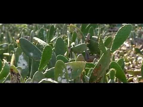 Pequeño documental sobre la cochinilla en la isla de Lanzarote. Su utilización como tinte natural en la artesanía, la moda, el arte y el ecoturismo.