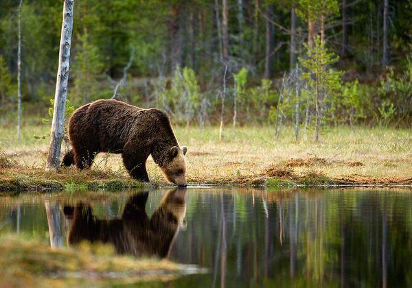 Bear drinking water, Finland