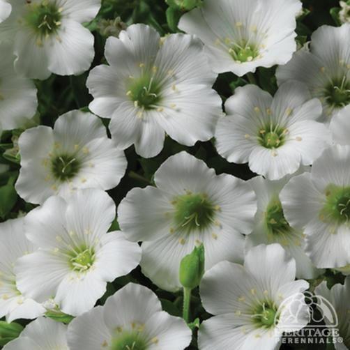 Plant Profile for Arenaria montana Flurry - Mountain Sandwort Perennial