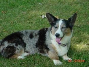 Lulu is an adoptable Cardigan Welsh Corgi in Carmel, IN. This is a courtesy listing.......so please direct all inquiries to Marilyn Thorson/Corgi Rescue- IN. Lulu is a purebred Cardigan Welsh Corgi.......she is ...