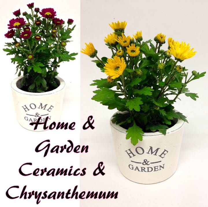 classic creamy white ceramic pots with flowering Chrysanthemums inside for Mothers day ! www.summerhillnurseries.com.au