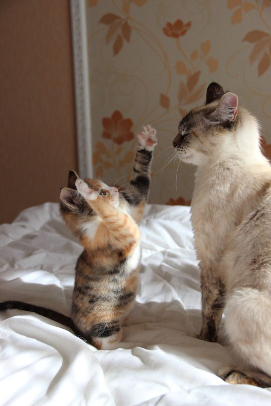 """** MORNING STORIES: --------- KITTEN: """" Den he huffed and he puffed, and he blews der house down !"""""""