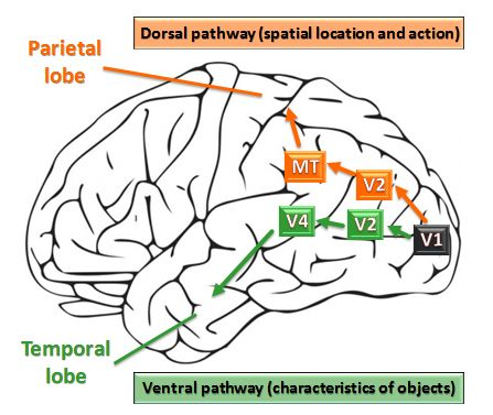Parallel Organization of Vision in the Brain-media/image1.png