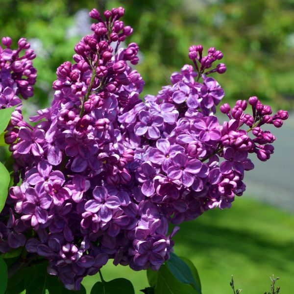 Agincourt Beauty Lilac Fragrant Plant Lilac Bushes Lilac Tree