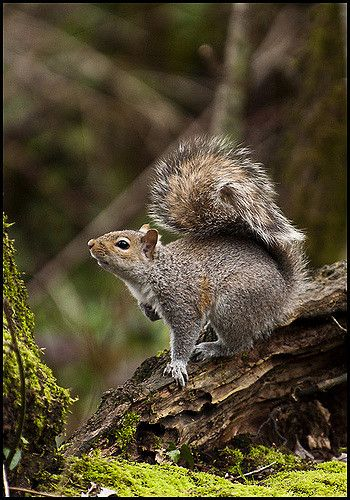 Forest Squirrel | Thought I'd post a shot of a squirrel take… | Flickr