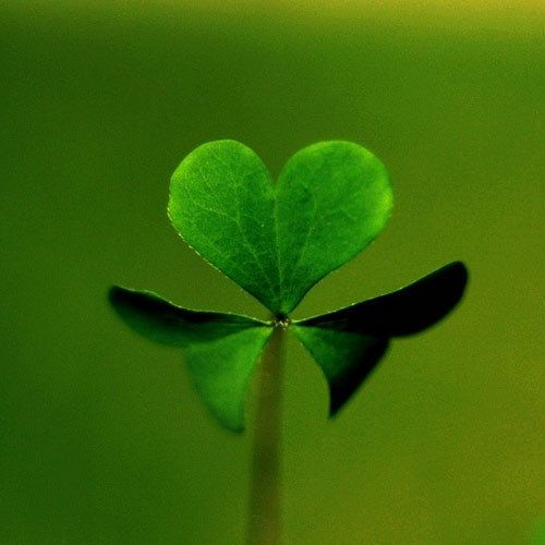 clover! #irish #clover #green #ireland #love