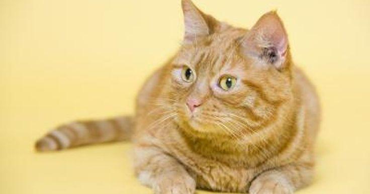 Cómo sacar el olor a orina de gato de tu alfombra. El fuerte y característico olor de la orina de gato no es algo que la mayoría de la gente quiere tener en su casa. Si tienes un gato que aún no está entrenado para orinar en una caja de arena o si simplemente es terco y le gusta hacer las cosas a su manera, de vez en cuando puedes descubrir que el gato orinó en tu alfombra. Como regla general, ...