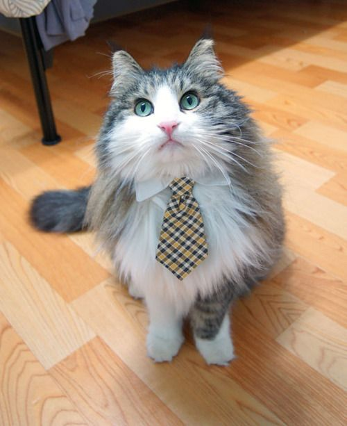 cuteWhite Collars, Bows Ties, Dresses Up, Pets Dogs, Dogs Cat, The Offices, Gray Suits, Neck Ties, Cat Collars