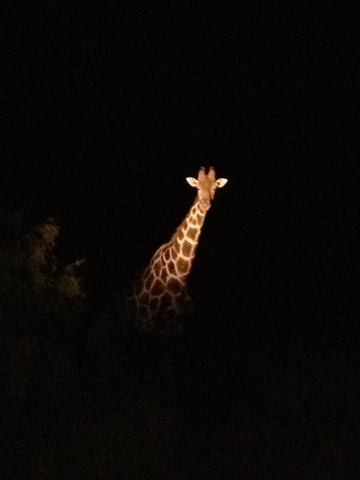 We watched this giraffe for a while as it came closer to our vehicle.  As we moved a few more yards down the road we suddenly saw another 6 to 8 giraffes.  We saw many other animals on the night safari (owls, rabbits, a wild cat etc) but all too small to come out on my camera (12/8/13).