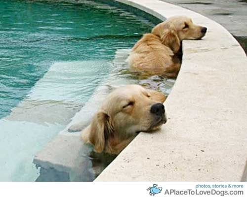 ...Pools Time, Puppies, Hot Summer Day, Dogs Day, Naps Time, Hot Day, Happy Dogs, Animal, Golden Retriever