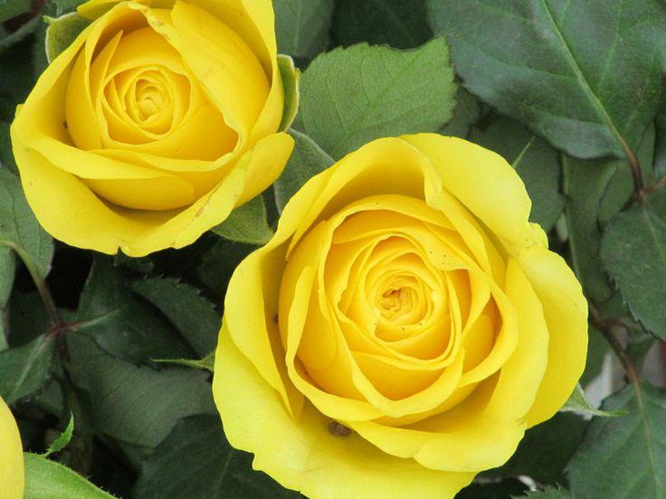 Τα κίτρινα τριαντάφυλλα θυμίζουν τον ήλιο και μεταφέρουν το μήνυμα της αφθονίας. Το κίτρινο είναι το χρώμα του φωτός, της τελειότητας,Συμβολίζει την ζεστασιά, την φιλία και τρυφερότητα, την ευτυχία, την ευγνωμοσύνη!!! Κι ας το λένε χρώμα της ζήλιας.
