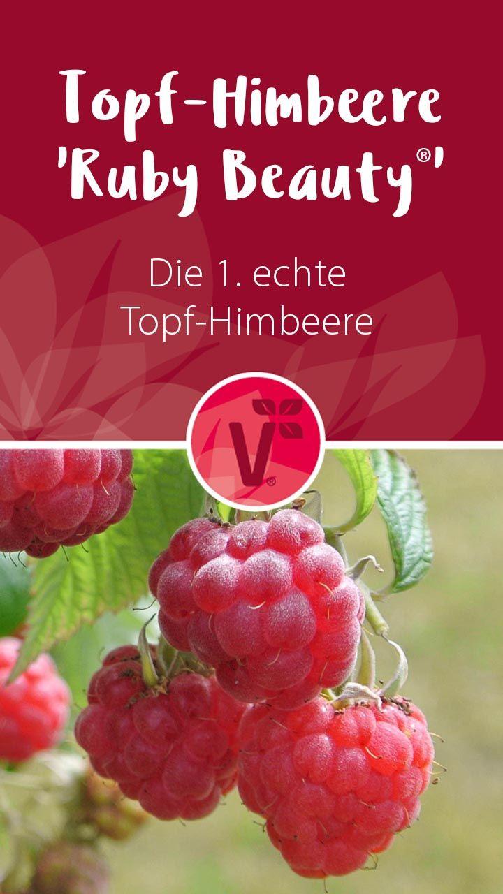 Die 1. echte Topf-Himbeere 'Ruby Beauty®'! Die perfekte, winterharte Kübelpflanze.