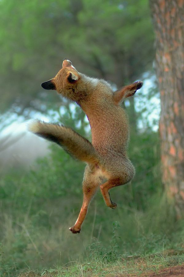 Fox Jumping Up Google Search Animals Beautiful Cute Animals Animals Wild
