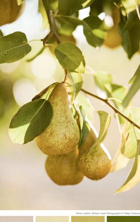 Can Dogs Eat Asian Pears