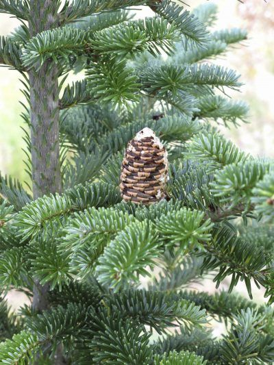 Fraser Fir Tree Care: How To Grow A Fraser Fir Tree - The fragrance of a Fraser fir immediately brings to mind the winter holidays. Have you ever thought of growing one as a landscape tree? Click this article for tips on Fraser fir tree care.