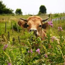 cow in face-deep meadow; what a dream come true....