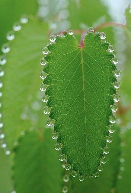 Green leaves with a necklace of morning dew. Check your rose bushes this fall!